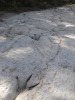 Acrocanthosaur_trackway_Denio_site_Sept_2011.JPG