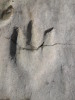 Acrocanthosaurus_print_Ozark_site_Sept_2011_2.JPG