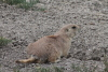 Badlands_prairie_dog_2014_4.JPG