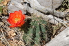 Big_Bend_barrel_cactus_2013.JPG