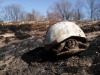 Closeup_of_burned_turtle_2011_1.JPG