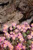 Linanthus_montanus_at_tree_base_2012_2.JPG
