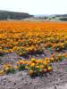 Lompoc_flowers_2.jpg