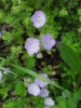 Postfire_Phacelia_closeup_Blue_R_March_2012.JPG