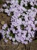 Rainier_meadow_Phlox_4.JPG