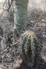 Saguaro_in_palo_verde_shade_2012_1.JPG