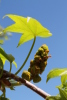 Sweetgum_flowers_2013_1.JPG