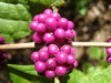 Texoma_beautyberry_closeup_2010.JPG