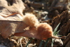 Tribble_galls_Nov_2012_4.jpg