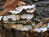 Turkey_Mountain_shelf_fungi_closeup_2010.JPG