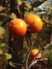 Turkey_Mtn_persimmons_2014_5.JPG