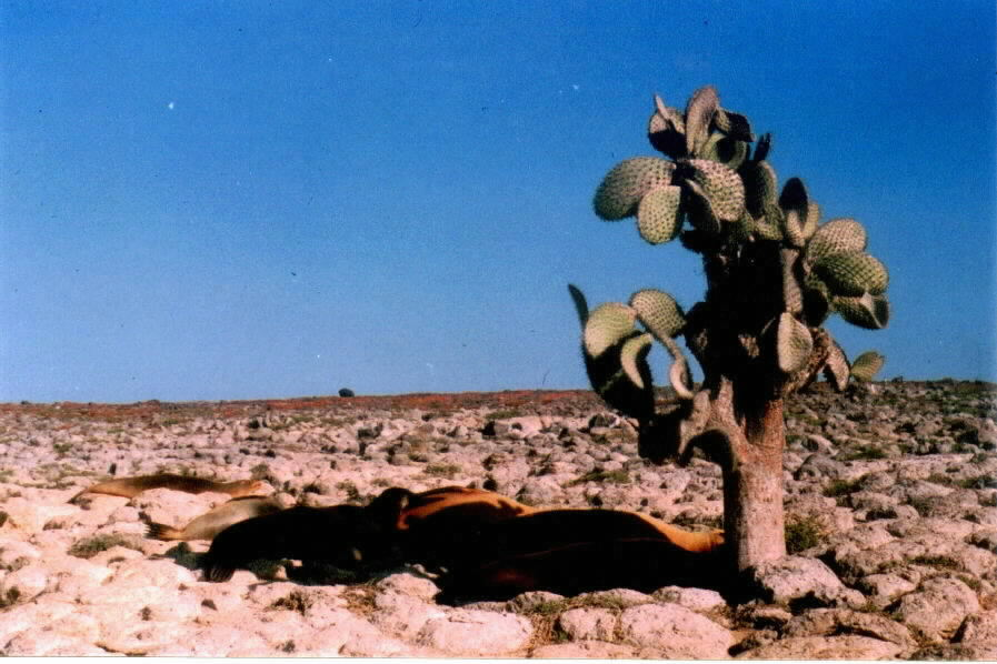 galapagos sea lions under cactus